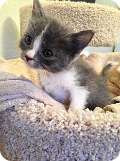 Domestic Shorthair Kitten for adoption in Fountain Hills, Arizona - NELLY