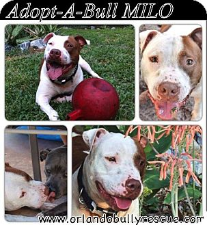 American Pit Bull Terrier Dog for adoption in Orlando, Florida - Milo