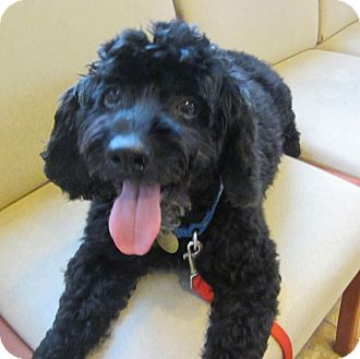 Cockapoo/Labradoodle Mix Dog for adoption in Oak Ridge, New Jersey - Lance