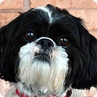 Adopt A Pet :: Bambino-Adoption pending - Bridgeton, MO