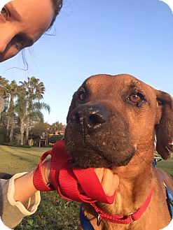 Black Mouth Cur/Boxer Mix Dog for adoption in Davie, Florida - Douglas
