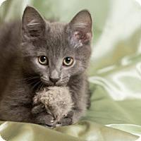 Adopt A Pet :: Cappuccino - Lombard, IL