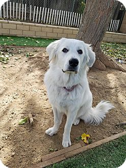 Great Pyrenees Mix Puppy for adoption in Santa Clarita, California - MELANIE
