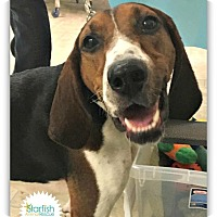 Treeing Walker Coonhound Mix Dog for adoption in Plainfield, Illinois - Sammie