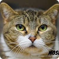 Adopt A Pet :: Moshi - Hanna City, IL