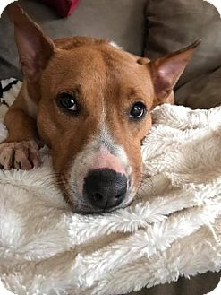 Bull Terrier Mix Dog for adoption in Media, Pennsylvania - Foxy (foster)