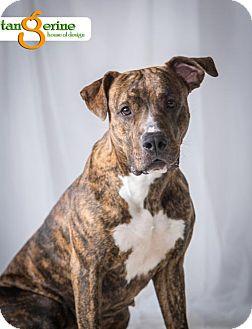 Pit Bull Terrier Mix Dog for adoption in St Paul, Minnesota - Betsy *Adoption Pending*
