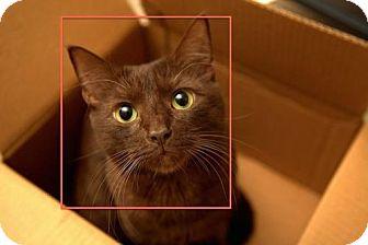 Havana Brown Cat for adoption in Devon, Pennsylvania - LA-Chocolate