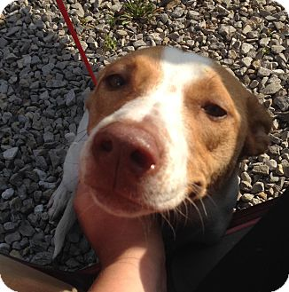 Cattle Dog Mix Puppy for adoption in Newburgh, Indiana - Ruto