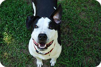 American Bulldog Mix Dog for adoption in Farmington, Maine - Bookie