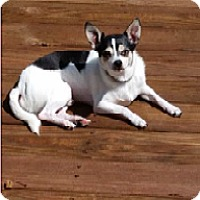 Chihuahua Mix Dog for adoption in Cincinnati, Ohio - Coco