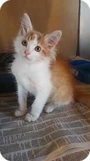 Domestic Mediumhair Kitten for adoption in Anderson, South Carolina - Gouda