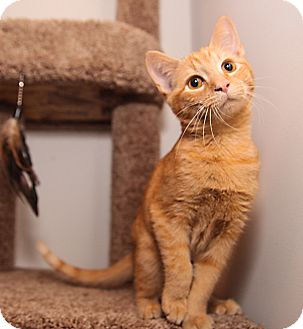 Domestic Shorthair Kitten for adoption in Charlotte, North Carolina - A..  Brayden