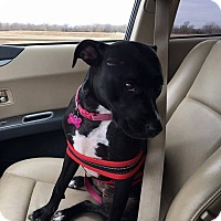 Pit Bull Terrier Mix Dog for adoption in Wichita, Kansas - Daphne