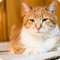 Domestic Shorthair Cat for adoption in Colorado Springs, Colorado - Ginger
