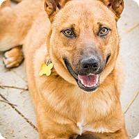 Adopt A Pet :: O.X. - Salt Lake City, UT