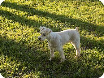 Schnauzer (Miniature) Dog for adoption in Lavon, Texas - Schatzi