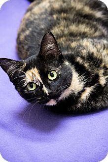Domestic Shorthair Cat for adoption in Chicago, Illinois - Tortellini