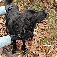 Adopt A Pet :: Ember - New Canaan, CT