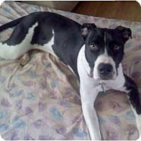 Adopt A Pet :: Bella - Hanover, MD