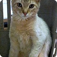 Domestic Shorthair Cat for adoption in Ringwood, Illinois - Elwood