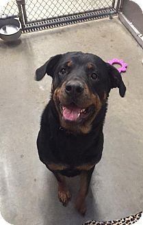 Rottweiler Dog for adoption in Holland, Michigan - Xena