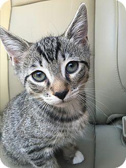 Domestic Mediumhair Kitten for adoption in Brattleboro, Vermont - Parsley (ETAA)