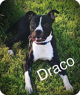 Pit Bull Terrier Mix Dog for adoption in Florence, Kentucky - Draco