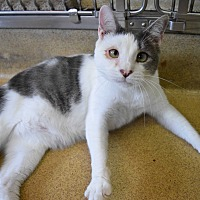 Domestic Shorthair Cat for adoption in Bay Shore, New York - Harry