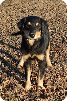 Flat-Coated Retriever/Australian Shepherd Mix Puppy for adoption in Westport, Connecticut - Holly