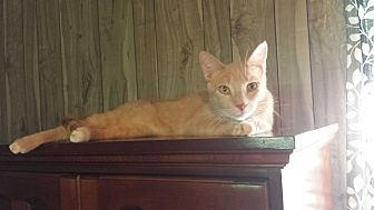 Domestic Shorthair Cat for adoption in McEwen, Tennessee - Rascal