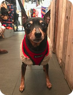 Miniature Pinscher Dog for adoption in New York, New York - Taz