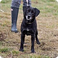 Labrador Retriever Mix Dog for adoption in mooresville, Indiana - Jiffy