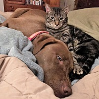 Bengal Cat for adoption in Athens, Georgia - Hart