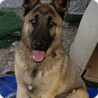 Shepherd (Unknown Type) Mix Puppy for adoption in Ventura, California - Chief
