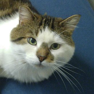 Domestic Shorthair Cat for adoption in Toronto, Ontario - Jera
