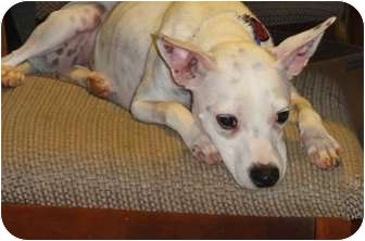 Rat Terrier Mix Dog for adoption in Jacksonville, Florida - Zoey