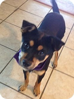Miniature Pinscher/Terrier (Unknown Type, Small) Mix Dog for adoption in Conway, Arkansas - Rocky