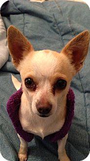 Chihuahua Mix Dog for adoption in Lebanon, Maine - Chloe