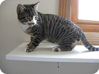 Domestic Shorthair Kitten for adoption in Ridgway, Colorado - Paddy