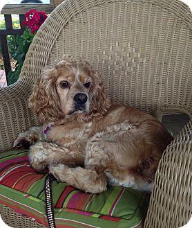 Cocker Spaniel Mix Dog for adoption in Richmond, Virginia - Curly