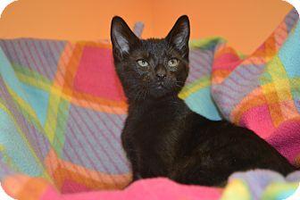 Domestic Shorthair Kitten for adoption in East Smithfield, Pennsylvania - Yema