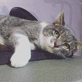 Domestic Shorthair Cat for adoption in Shelbyville, Kentucky - Smokey J