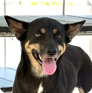 Shiba Inu Mix Dog for adoption in Long Beach, New York - Bianca