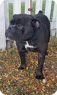 American Bulldog Mix Dog for adoption in Plainfield, Illinois - Maycee