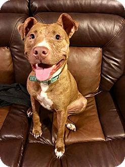 American Staffordshire Terrier/Pit Bull Terrier Mix Dog for adoption in Pittsburgh, Pennsylvania - Tiki