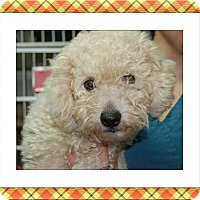 Bichon Frise Dog for adoption in Tulsa, Oklahoma - Adopted!!Cruiser - S. TX