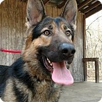 German Shepherd Dog Dog for adoption in Greensboro, North Carolina - Loki