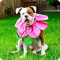 American Bulldog Dog for adoption in Fort Lauderdale, Florida - Daffy
