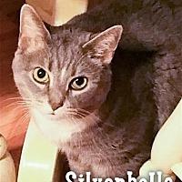 Adopt A Pet :: Silverbelle - Merrifield, VA